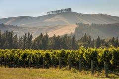 Rader av vinrankan i vingård Royaltyfria Bilder