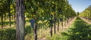 Rader av vinrankan med gruppen av rött vin Arkivfoto