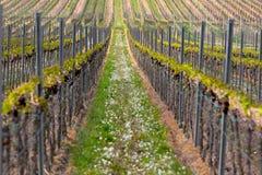 Rader av vinrankan, Pfalz, Tyskland Royaltyfri Foto