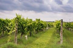 Rader av vinrankor i den Texas Hill Country vinyarden Royaltyfria Foton