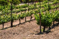 Rader av vinrankor i Ensenada, Mexico fotografering för bildbyråer