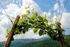 Rader av vinrankor i kullarna av Prosecco Arkivfoto