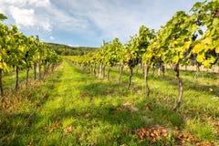Rader av vinrankor i varmt ljus Fotografering för Bildbyråer