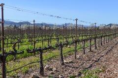 Rader av vinrankor i vingården Arkivbild