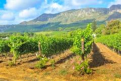 Rader av vinrankor Sydafrika Royaltyfria Foton