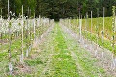 Rader för Apple fruktträdgård Arkivbilder