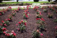 Rader för blommaträdgård Royaltyfri Foto
