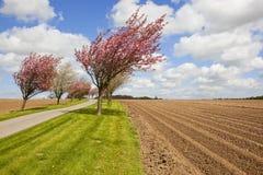 Rader för körsbärsröd blomning och potatis Royaltyfria Bilder
