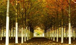 Rader för lönnträd Royaltyfria Foton