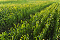 Rader i det gröna vetefältet på solnedgång Royaltyfri Foto