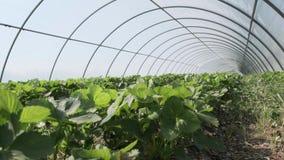 Raderna av unga jordgubbeväxter som växer i stor växtbarnkammare Allt kryddar produktion av frukt och grönsaker in arkivfilmer