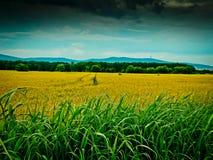 Radfahren nahe diesen schönen goldenen Feldern in Ungarn Stockfotos
