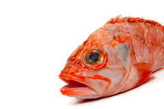 Radfish Royalty Free Stock Photos