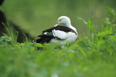 Radiah shelduck Stock Photography