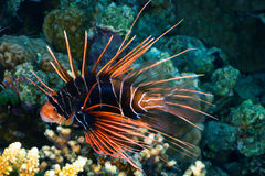 Radial firefish at night Royalty Free Stock Photos