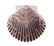 Radial Sea Shell Isolated Stock Photos