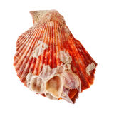 Radial Seashell Stock Photography