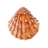 Radial Seashell Stock Photography