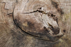 A radial section of a tree trunk. Stock Images