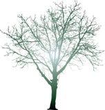 Radial tree Royalty Free Stock Photo