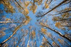 Radialbäume Lizenzfreies Stockbild