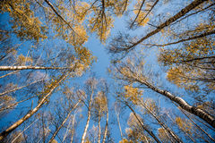 Radiale bomen Royalty-vrije Stock Afbeelding