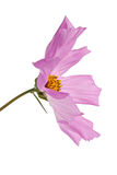 Radiance cosmos isolated on white background. (studio shot Royalty Free Stock Photography