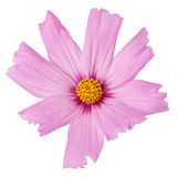 Radiance cosmos isolated on white background. (studio shot Stock Image