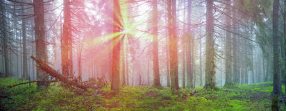 Radiance misty forest Stock Images