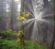 Radiance misty forest Royalty Free Stock Photo