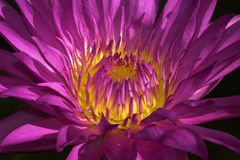 Radiant Beauty Water Lilly Royalty Free Stock Image