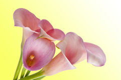 Radiant Calla Lily Background. Radiant Pink Calla Lily Background on Yellow Stock Images