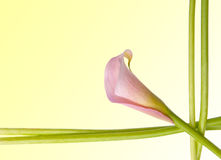Radiant Calla Lily Background. Radiant Pink Calla Lily Border Image with Stems and Flower Stock Photo