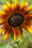 A radiant orange and yellow sunflower with dark center. stock images
