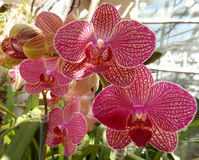 Radiant pink orchids in bloom Royalty Free Stock Image