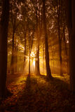Radiant Rays. A foggy forest in autumn, the morning light shines though the trees Royalty Free Stock Photo