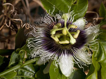 A radiant and special passionflower royalty free stock photo