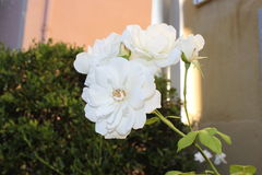 The radiant sun on the white rose. Early in the morning Stock Photo