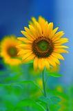Radiant sunflower Stock Photo
