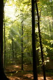 Radiant woods. Radiant sun beams in an autumnal forest Royalty Free Stock Image