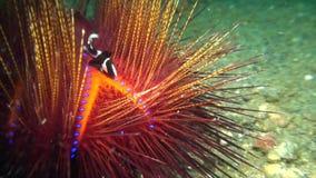 Radiata de Astropyga del erizo de mar de Radient con los pequeños pescados blancos y negros entre las agujas en el estrecho de Le metrajes