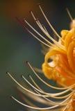 Radiata de Lycoris imagenes de archivo