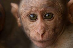 Radiata del Macaca Ritratto di una scimmia Anno della scimmia Fotografia Stock Libera da Diritti