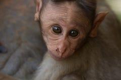 Radiata del Macaca Ritratto di una scimmia Anno della scimmia Immagine Stock Libera da Diritti