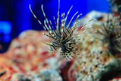 Radiata lionfish. The clearfin lionfish, tailbar lionfish, radiata lionfish, or radial firefish, Pterois radiata, is a carnivorous, ray-finned fish with venomous Stock Photography