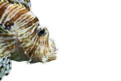 Radiata lionfish på en vit bakgrund royaltyfri bild