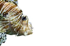 Radiata lionfish on a white background royalty free stock image