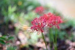 Radiata Lycoris Стоковое фото RF