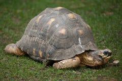 Radiata rayonné d'Astrochelys de tortue photographie stock libre de droits