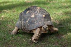 Radiata rayonné d'Astrochelys de tortue photo libre de droits
